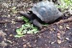 Aldabrachelys Gigantea (reuzenschildpad)
