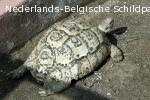 De panterschildpad[1] of luipaardschildpad (Stigmochelys pardalis